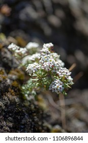 Flora of Gran Canaria - Lobularia canariensis, plant endemic to Canary Islands