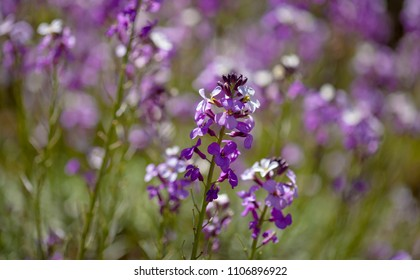 flora of Gran Canaria - natural macro background of  Erysimum albescens, endemic to the island