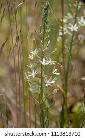 Flora of Gran Canaria - Ornithogalum,  Star-of-Bethlehem white flowers