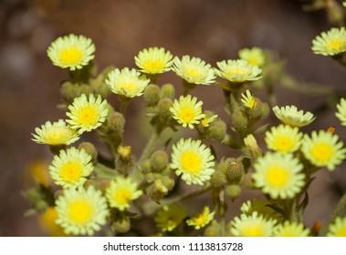 Flora of Gran Canaria - pale lemon yellow flowers of Andryala integrifolia
