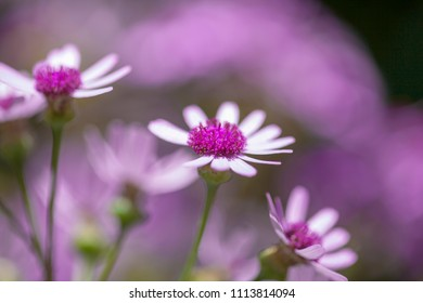 Flora of Gran Canaria -  Pericallis webbii, endemic to the island