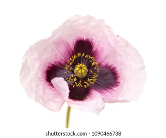 Flora of Gran Canaria - pink Papaver somniferum isolated on white background
