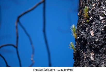 Flora of Gran Canaria - Pinus canariensis, Canarian Pine trees, recovering from last year fire, Gran Canaria. New shoots appear on thicker branches and directly from burnt trunks