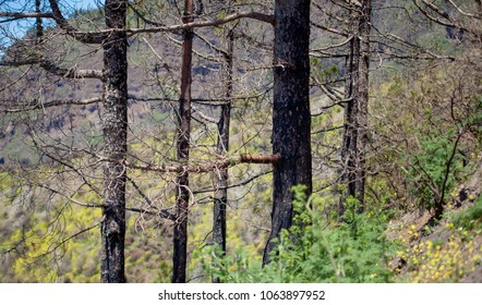 Flora of Gran Canaria - Pinus canariensis, Canarian Pine trees, recovering from last year fire on Gran Canaria. New shoots appear on thicker branches and directly from burnt trunks