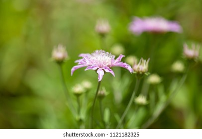 Flora of Gran Canaria - Pterocephalus dumetorum , Mountain scabious endemic to the central Canary Islands