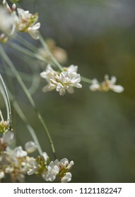 Flora of Gran Canaria - Retama rhodorhizoides, Canary retama