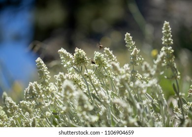 Flora of Gran Canaria -  Sideritis dasygnaphala, mountain tea, medicinal plant endemic to the island