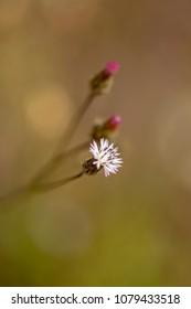 Flora of Gran Canaria -  small flower of Volutaria canariensis, endemic to the islands