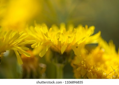 Flora of Gran Canaria -  Sonchus acaulis, pant endemic to central Canary Islands