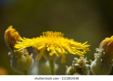 Flora of Gran Canaria -  Sonchus acaulis, endemic to central Canary Islands of Tenerife and Gran Canaria