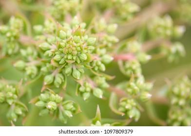 Flora of Gran Canaria -   succulent Aeonium percarneum about to flower