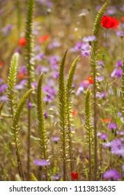 Flora of Gran Canaria -  tall flowering spike of  Umbilicus heylandianus