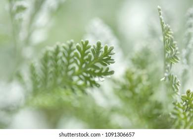 Flora of Gran Canaria - Tanacetum ptarmiciflorum, aka Gonospermum ptarmicaeflorum, endemic to the island and Endangered species leaves background