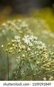 Flora of Gran Canaria -  Tanacetum ptarmiciflorum, silver tansy flowers