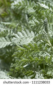 Flora of Gran Canaria -  Tanacetum ptarmiciflorum, silver tansy leaves background