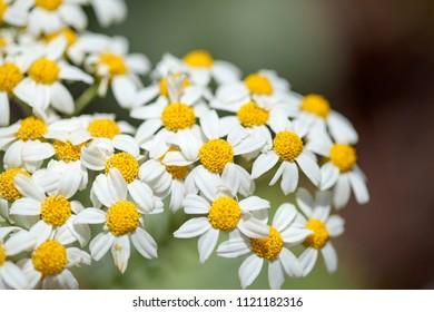Flora of Gran Canaria - Tanacetum ptarmiciflorum, silver tansy