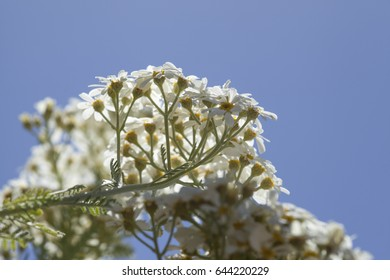 flora of Gran Canaria -  Tanacetum ptarmiciflorum, silver tansy, endemic of the island and endandegerd species, natural floral background