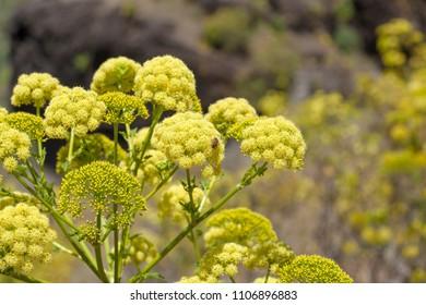Flora of Gran Canaria -  Todaroa aurea flowering plant
