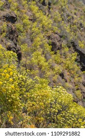 Flora of Gran Canaria -  Todaroa montana, plant endemic to Canary islands, flowering on the slopes of Caldera de Tejeda