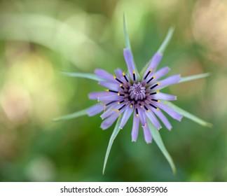 Flora of Gran Canaria -  Tragopogon porrifolius, purple salsify, plant with edible root