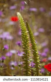 Flora of Gran Canaria -  Umbilicus heylandianus