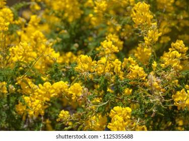 Flora of Gran Canaria - yellow flowers of Adenocarpus foliolosus