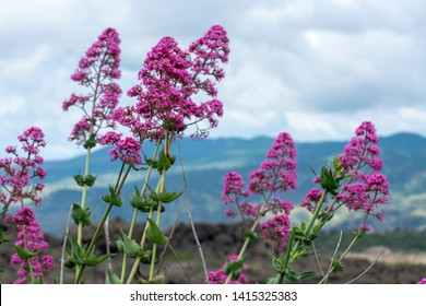 Flora of Mount Etna volcano, seasonal blossom of pink Centranthus ruber Valerian or Red valerian, popular garden plant with ornamental flowers.
