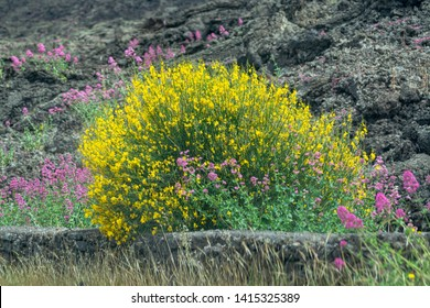 Flora of Mount Etna volcano, seasonal blossom of pink Centranthus ruber Valerian or Red valerian and yellow Genista aetnensis, popular garden plants with ornamental flowers.