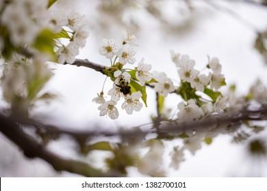 Flora Spring Season Black Cherry Blossoms Branch Twig