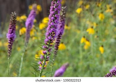 Flora Tall Purple Flowers Perennial Lupine Stalks Field