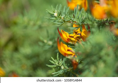 flora of Tenerife - Lotus maculatus, Critically Endangered Species