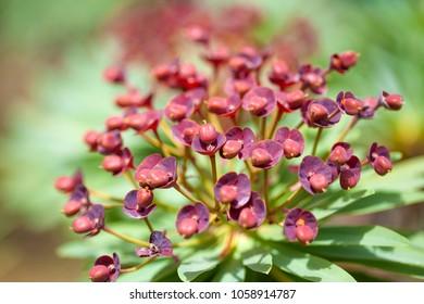 flora of Tenerife - spurge Euphorbia atropurpurea makro background