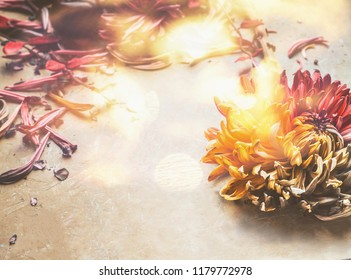 Floral background with autumn chrysanthemum flowers at sunlight with bokeh