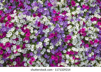 floral background. balcony decoration with lush blooming petunias, white pink and purple blossoms.