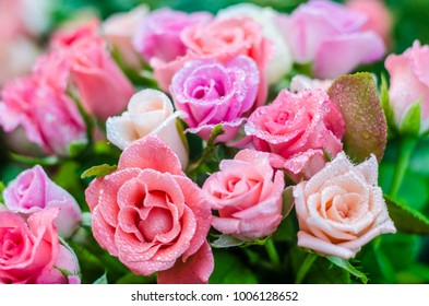 Floral background. Beautiful colored roses in drops of water.