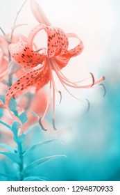 Floral background with beautiful lily flower blossoming.