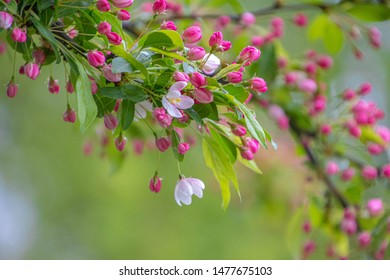 Floral background with blooming Manzano silvestre with the raindrop, Selective focus of Malus sylvestris mill flowers with white-pink colour blossoming in spring with green leaves, Nature background.