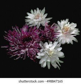 Floral background with bouquet of white and violet chrysanthemums isolated on black