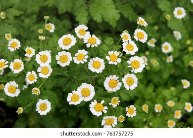 Floral background of chrysanthemums, close-up