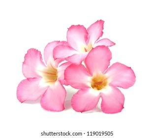 Floral background. Close up of Tropical flower Pink Adenium. Desert rose on isolated white background.