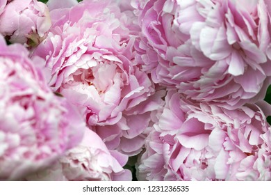 Floral background, closeup photo of pink peonies