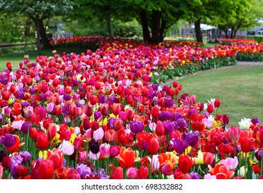 floral background with colorful red and purple tulips flowerbed