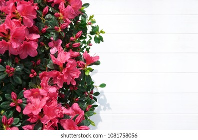 Floral background for congratulations. Beautiful magenta azaleas flowers on a white wooden background with copy space, top view. Light wooden template with border of a flowering azaleas.