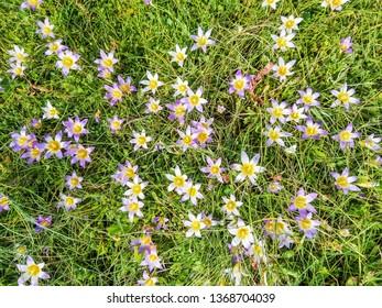 Floral background of false saffron, Romulea bulbocodium, between the grass in Galicia, Spain