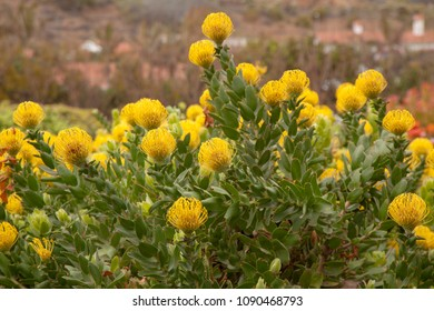 floral background of  flowering pincushion protea plants, grown as cut flowers on Gran Canaria