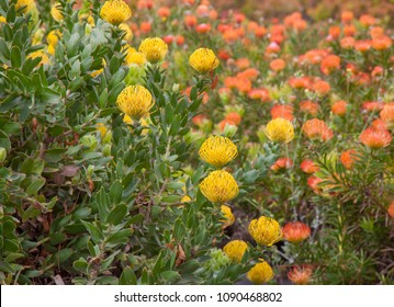 floral background of  flowering pincushion protea plants