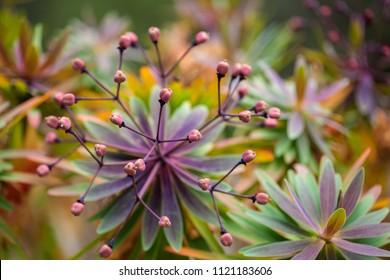 floral background of forming fruit of Euphorbia atropurpurea