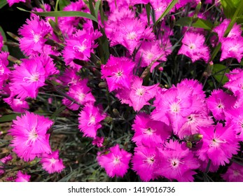 Floral background - green grass with pink flowers.