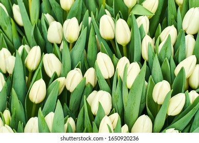 floral background - growing unopened white tulips