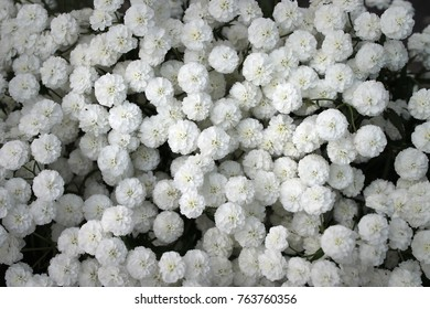 Floral background of Gypsophila flowers, clove family, close-up
